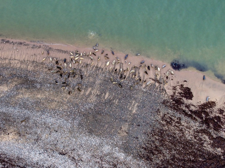 Zoomed in aerial photograph of the seals at South Walney, taken from a drone as research for Cumbria Wildlife Trust by Aerial Artwork