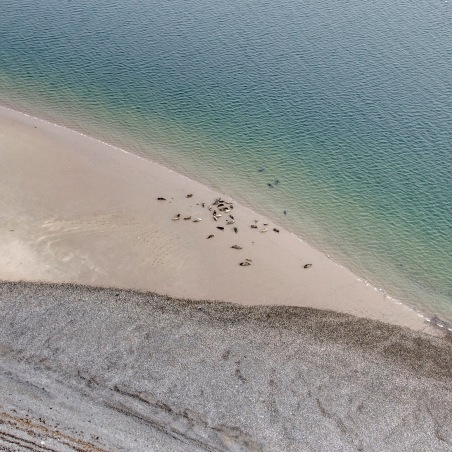 Seals at South Walney, taken from a drone 120 metres in the air for Cumbria Wildlife Trust by Aerial Artwork as part of research